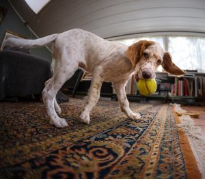 English Setter puppy playing with a tennis ball, Norway