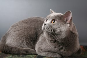 British shorthair silver cat lying, looking left up. Whole body
