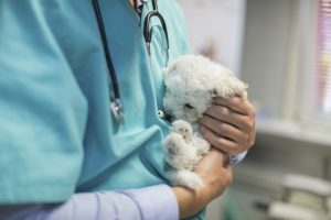 Veterinarian stroking bichon puppy