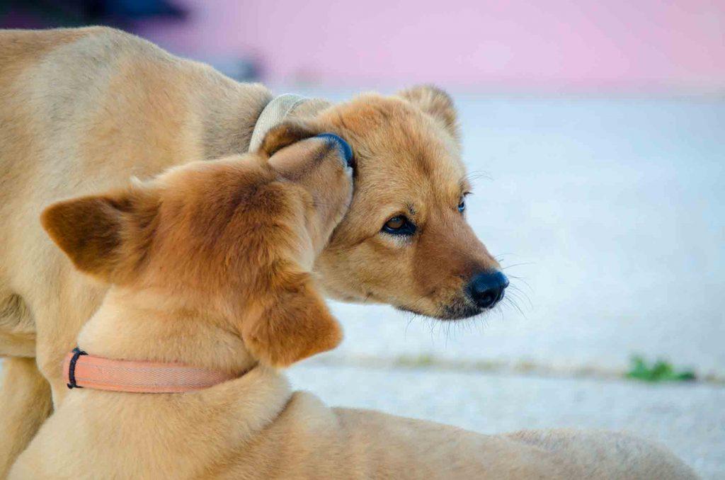 dogs lick ears