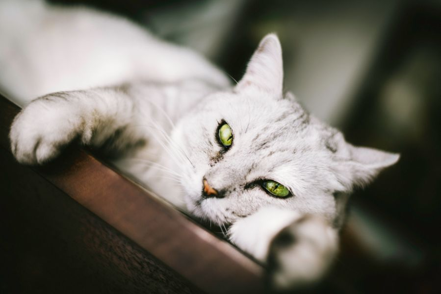 Anemia in Pets