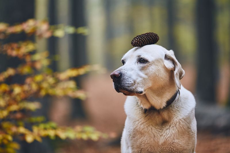 This dog with a pinecone on its head is ready for a safe fall!