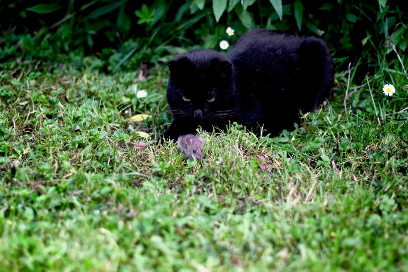 A black cat rests in a grassy yard. Pet-safe-pest-control is very important for outdoor cats.