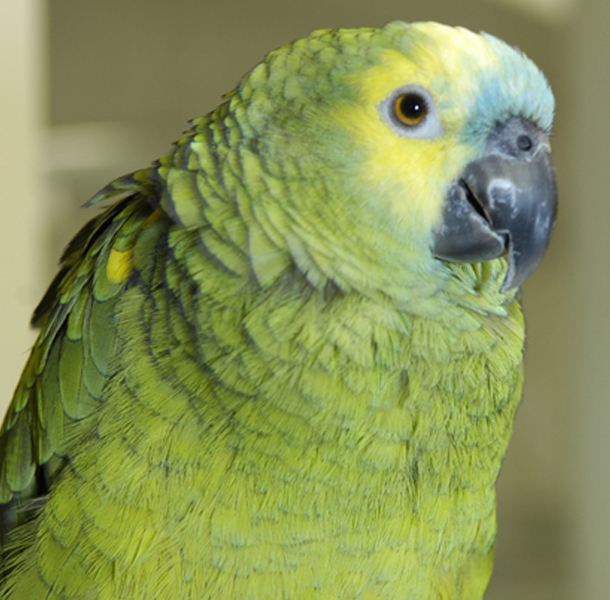 Photo of green parakeet